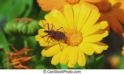 Assassin bug Rhynocoris iracundus on a Calendula flower