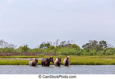Assateague Wild Ponies Crossing Bay - Four wild ponies of ...