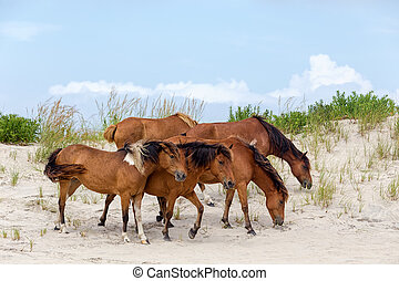 Assateague Wild Ponies on the Beach - A group of wild...