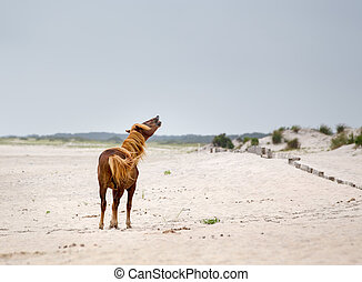 Assateague Wild Pony - A Wild pony, horse, of Assateague...