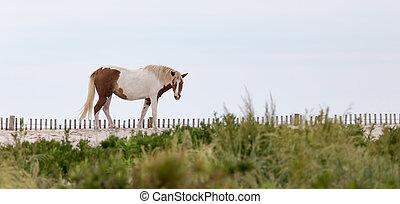Assateague Wild Pony on the Beach - A Wild pony, horse, of...