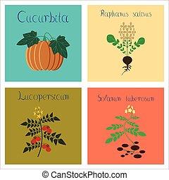 assembly of flat Illustrations Cucurbita raphanus tomato Solanum