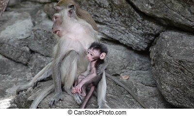 assied, singes, famille, rocher
