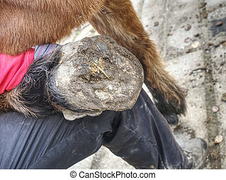 Assistant of Blacksmith hold hoof on hind leg of horse. Cleaning hoofs without horseshoes.