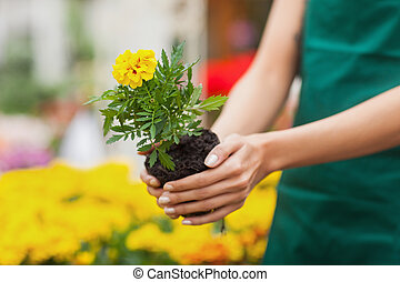 Assistant planting a flower in garden center - Assistant...