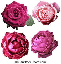 Assorted on rose blooms