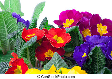 assorted primula flowers isolated on white background....
