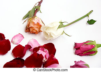 Assorted roses and petals on white background