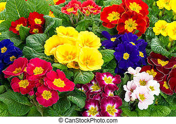 assorted spring primulas. colorful flower blossoms