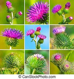 assortment of bur thorny flower. (Arctium lappa) -...