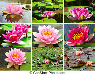 Assortment of  nymphaea Water lilly in a pond