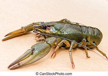 astacus), o, broad-fingered, tradicional, cangrejo río, ...