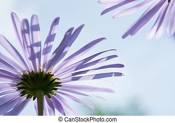 Aster Alpinus flowers under a bright blue sky