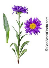 Aster alpinus - Isolated purple blooming flower with detail...