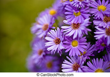 Aster amellus flower in front of the garden