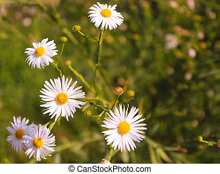 Aster ericoides or Symphyotrichum ericoides