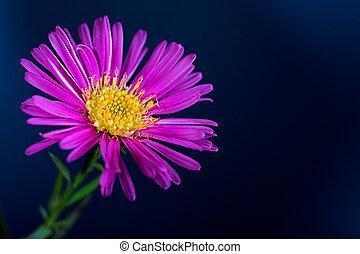 aster flower - Aster flower isolated on blue
