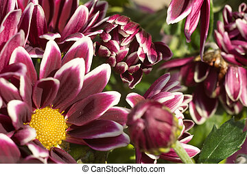 Aster Flower - Colorful aster flowers in a bouquet, macro ...