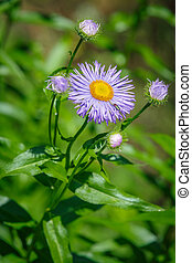Aster flower growing in the garden