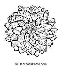 Aster flower icon. Vector line style