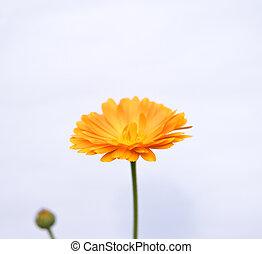 aster flower over white background