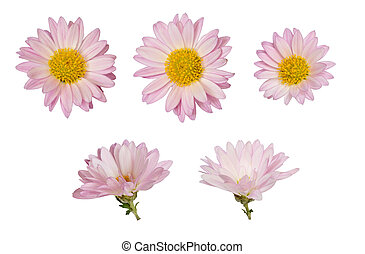 Aster flowers isolated on white