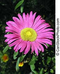 Aster in beams of the sun - Aster