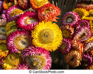 Aster in multicolor flower