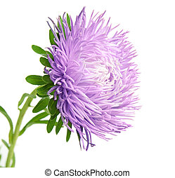 Single aster violet flower isolated on white