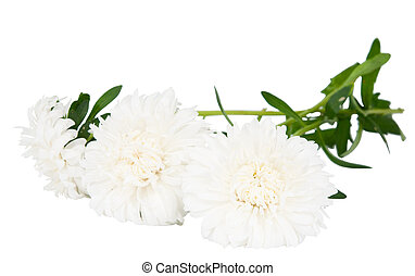 aster on a white background