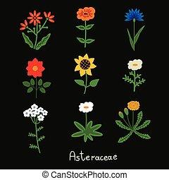 asteraceae, flores, conjunto