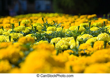 Asteraceae in a botanical garden