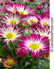 asters, florescer