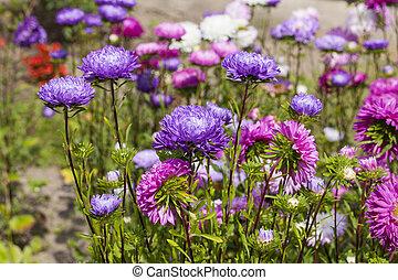 asters flower garden, multicolored