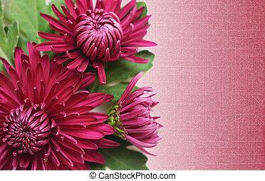 Asters flowers on pink background