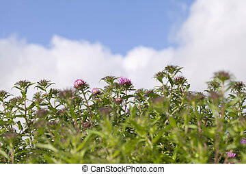 asters.