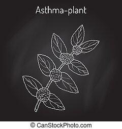 asthma-plant, euphorbia, jardín, medicinal, spurge, hirta,...