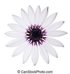 asti, 中心, 紫色, デイジー, 白, osteospermum