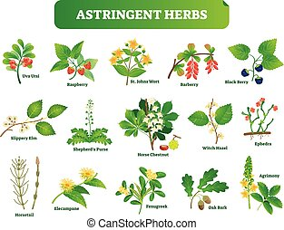 Astringent herbs vector illustration collection. Natural homeopathy wild plants botanic set. Health and nature.