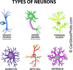 astrocyte, 感覚, pyromidal, モーター, 構造, betz, set., ニューロン, 隔離された, イラスト, infographics., ベクトル, microglia., 背景, neurons., タイプ, 細胞