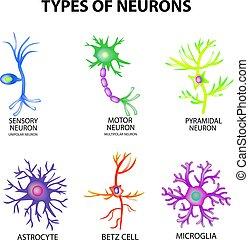 astrocyte, sensorisch, pyromidal, motor, structuur, betz, set., neuron, vrijstaand, illustratie, infographics., vector, microglia., achtergrond, neurons., types, cel