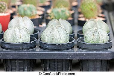 astrophytum, pequeno, myriostigma, potted, cacto, plant.