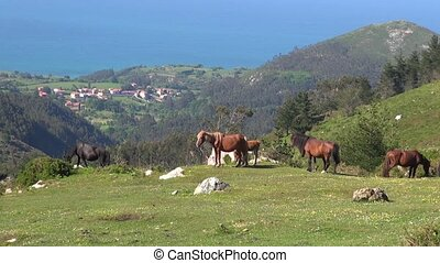 Asturian horses - horses grazing on green field near ocean...