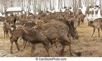 At deer farm - Deer walking around in winter and eating hay