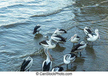 at the city harbour of Cairns a flock of pelicans swims in the water and wants to be fed