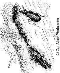 atacar, calosome, moth, processionary, engraving., sicofanta, vindima