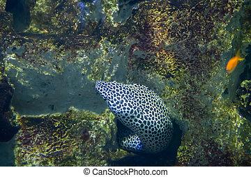 atado, moray., moray, leopardo, también, conocido