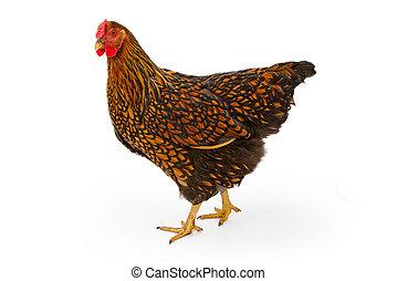 atado, ouro, isolado, wyandotte, galinha, branca