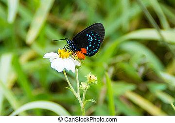 Atala Butterfly (Eumaeus atala)