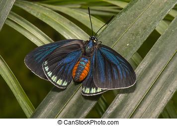 Atala butterfly on a leaf